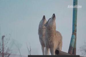Người đàn ông 1 mình nuôi 200 con chó sói